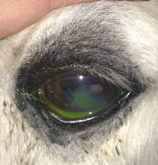 A horse with a corneal ulcer